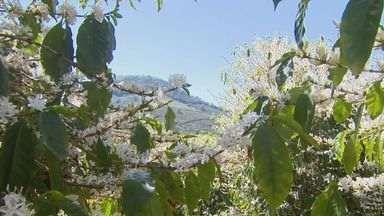 Primavera gera otimismo nas plantações de café em Caconde e Divinolândia - Chuvas de setembro impulsionaram a produção e colheita em 2016 deve ser boa, estimam produtores.