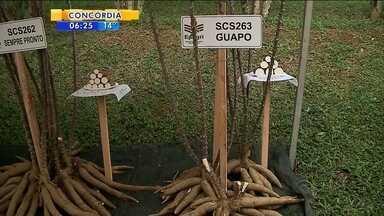 Quatro novas variedades de aipim são descobertas em SC - Quatro novas variedades de aipim são descobertas em SC