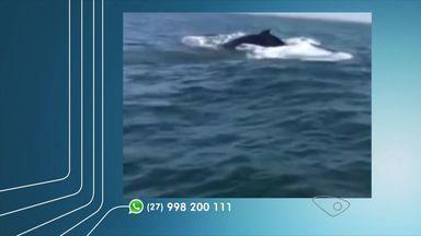 Filhote de baleia jubarte é encontrado morto em Praia de Manguinhos, no ES - Baleias da espécie estão na costa para período reprodutivo.Segundo prefeitura, instituto foi acionado para avaliar situação do animal.