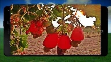 Fazendeiros de Goiás enviam imagens de árvores frutíferas - Um dos telespectadores enviou uma foto de um pé de caju carregado coma fruta.
