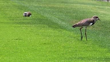 Quero-quero que mora no campo de futebol tem Pelé como protetor (Bloco 1) - Equipe do Terra da Gente vai ao estádio Moisés Lucarelli, em Campinas (SP), para ver os quero-queros que moram no campo e conhece Pelé, o guardião das aves.