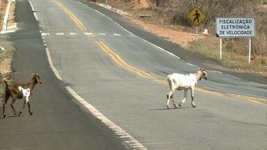 Presença de animais próximo às rodovias alerta motoristas no Sertão de PE - Operação da PRF apreende animais pastando à beira da estrada