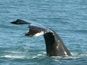 Baleia jubarte - Poliana foi até o arquipélago de Abrolhos atrás das baleias jubarte que buscam o local como um berçário para se reproduzir e amamentar seus filhos. Acompanhamos pesquisadores que estudam a espécie.