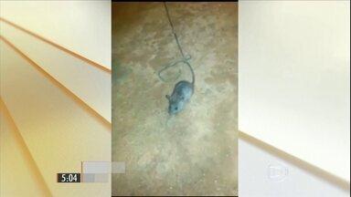 Rato domesticado transportava drogas em presídio do Tocantins - Agentes de uma penitenciária descobriram quem levava de um pavilhão para outro drogas para os presos.