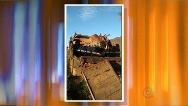 Caminhão que transportava touros de rodeio tomba em rodovia de Nhandeara - Um caminhão que transportava touros de rodeio tombou nesta quinta-feira (5) na rodovia Péricles Belini, em Nhandeara (SP). Três animais morreram no acidente. Segundo informações da polícia, o caminhão bateu na lateral de outro caminhão que vinha no sentido contrário. Os motoristas dos veículos não tiveram ferimentos graves.