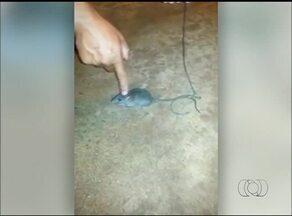 Rato usado para traficar drogas em presídio do TO 'ganha' liberdade; entenda - Rato usado para traficar drogas em presídio do TO 'ganha' liberdade; entenda