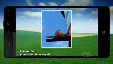 Morador de Serranópolis envia vídeo de João-de-barro - Telespectador flagra o momento em que o pássaro constrói sua casa com calma.