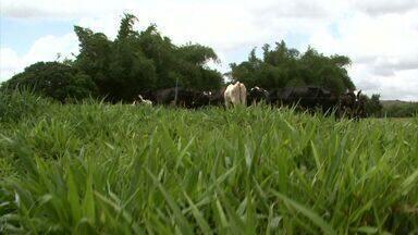 Piquete irrigado tem aumentado produção de leite de agricultor em Alagoas - O produtor rural Sérgio Cândido explica os benefícios que a prática tem trazido para ele.