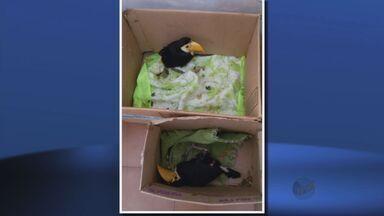 Polícia Ambiental resgata dois filhotes de tucano em Elói Mendes, MG - Polícia Ambiental resgata dois filhotes de tucano em Elói Mendes, MG