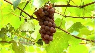 Colheita da uva começa no norte do Rio Grande do Sul - Clima mais quente, em relação a Serra Gaúcha, possibilita a colheita nessa época.Em média, o quilo da uva está sendo comercializado a quatro reais.