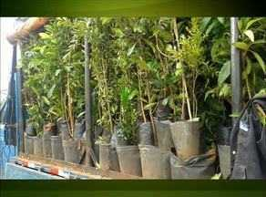 Adapec apreende mais de mil mudas de árvores frutíferas - Adapec apreende mais de mil mudas de árvores frutíferas