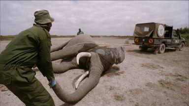'Domingão Aventura' mostra trabalho de emergência de proteção aos animais no Quênia - Veterinários explicam rotina para ajudar elefantes contra maus tratos