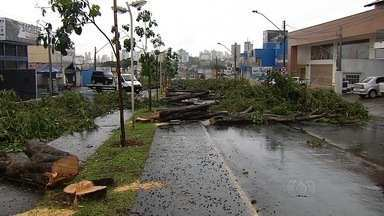 Pista da Avenida T-63 é interditada para corte de árvores, em Goiânia - Pés de jamelão não são indicados porque frutas, quando madura, cai e deixa o asfalto escorregadio.