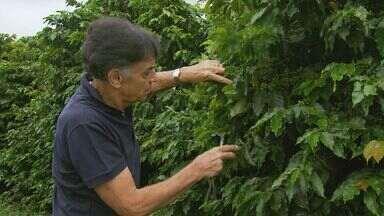 Colheita de café deve ser antecipada em cerca de um mês no Sul de Minas - Colheita de café deve ser antecipada em cerca de um mês no Sul de Minas