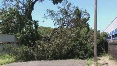 Biólogo orienta sobre cuidados com queda de árvores comprometidas - O vento e as chuvas de verão podem derrubar árvores, e isso se torna um perigo para os moradores e pedestres.