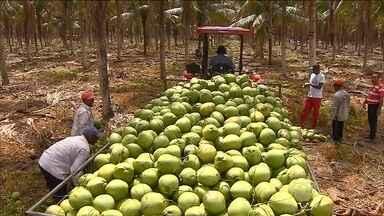 Calor forte no Nordeste livra os produtores de coco da crise - Só em dezembro, foram vendidos 1,3 milhão de cocos, em uma área irrigada em Sergipe – 15% a mais que no mesmo período do ano passado.
