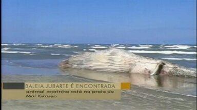 Baleia jubarte é encontrada morta em São José do Norte, RS - Animal marinho está na praia do Mar Grosso e chamou a atenção dos moradores.