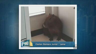 Capivara 'visita' escritório de advocacia em Leme, SP - Corpo de bombeiros capturaram o animal na sexta-feira.