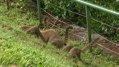 Visitantes são orientados a não alimentar ou tocar nos quatis do Parque Nacional - A orientação é também uma prevenção para o animal selvagem e o turista. O quati pode transmitir raiva e também ataca as pessoas.