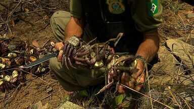 Ibama faz apreensão de centenas de unidades de caranguejos - Ibama faz apreensão de centenas de unidades de caranguejos.