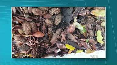 Com a chuva caramujos viram praga - Os caramujos causam doenças e por isso é preciso ter cuidado na hora de fazer a limpeza.