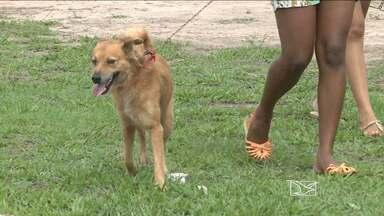 Pesquisa para desenvolver vacina contra calazar é realizada em São Luís - Em São Luís, 179 cães dos quatro municípios da ilha de São Luís estão sendo utilizados na pesquisa para desenvolver a vacina. A incidência da doença é considerada alta na região metropolitana de São Luís.