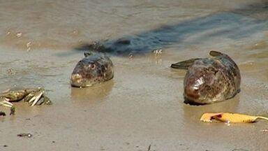 Peixes e mariscos aparecem mortos no rio Piraqueaçu, em Aracruz, ES - Prefeitura de Aracruz diz que mortes não têm ligação com a lama da barragem da Samarco.