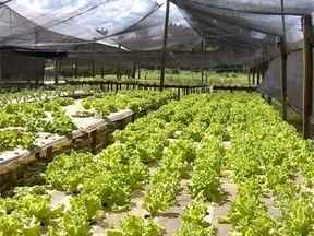 Preço de verduras registra aumento devido ao período de chuvas - Qualidade dos produtos também é prejudicada com o tempo.