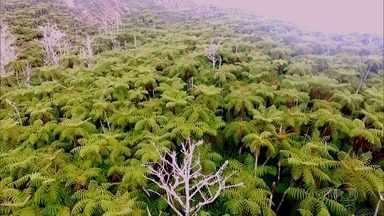 Samambaias gigantes decoram o ponto mais alto da Ilha da Trindade - A equipe do Globo Repórter escalou um dos pontos mais altos no Oceano Atlântico e encontrou uma floresta de samambaias gigantes.