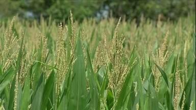 Mato Grosso investe na produção de milho - Estado deve produzir mais de 20 milhões de toneladas do grão. Colheita só começa em junho e a previsão é animadora.