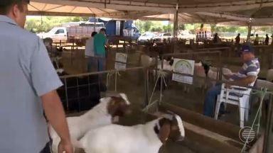 Picos Fest Berro movimenta mercado de ovinos e caprinos no Sul do Piauí - Picos Fest Berro movimenta mercado de ovinos e caprinos no Sul do Piauí