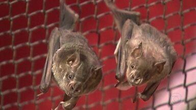 Morcegos podem estar transmitindo Raiva - Uma ação com cães, principal alvo de contaminação, foi feita hoje no Grajaú.