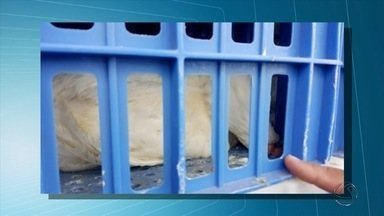 Indústria diz que perdeu cerca de 13 mil frangos durante bloqueio do MST em rodovia de MS - Segundo a empresa, os 13 caminhões que transportavam as aves ficaram presos no bloqueio dos sem-terra na BR-163, entre Mundo Novo e Eldorado.