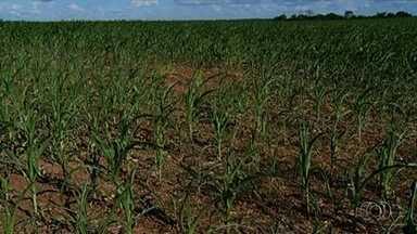 Tempo seco prejudica lavouras de milho, em Goiás - Em muitas propriedades, planta nem cresceu.