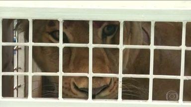Leões resgatados de circos na América Latina são levados para a África do Sul - Mais de 30 leões resgatados de circos na América Latina são levados para santuário na África do Sul
