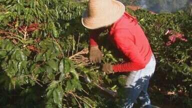 Colheita de café começa e produção deve ser 20% maior na região de São João da Boa Vista - Chuva na hora certa favoreceu o cultivo nas propriedades.