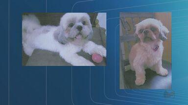 Família de Jaboticabal, SP, procura cachorros roubados há uma semana - Além dos dois cães da raça shih-tzu, os ladrões levaram TVs e uma moto.
