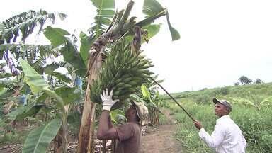 Especial Baixo Sul: Agricultores apostam no plantio de banana-da-terra - A região se destaca por ser a maior produtora de banana-da-terra do país.