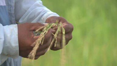 Safra de verão de arroz deste ano deixa produtores animados - A safra chegou a fim e teve aumento significante.