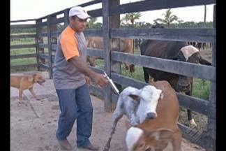 Animais são vacinados contra febre aftosa em Paragominas - Mais de 350 mil animais devem ser imunizados.