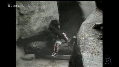 Em 1996, gorila salvou criança que caiu no fosso do zoológico de Chicado - André Sena Maia diz que existem protocolos para abater animais que possam colocar a vida de alguma pessoa em perigo