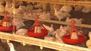 Aves morrem por falta de ração e milho na região oeste - Alta do dólar fez com que aumentassem as exportações.