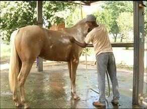 Animais são preparados para a cavalgada de Araguaína, uma das maiores do Tocantins - Animais são preparados para a cavalgada de Araguaína, uma das maiores do Tocantins