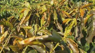 Frio prejudica lavouras de café em Muzambinho (MG) - Frio prejudica lavouras de café em Muzambinho (MG)