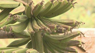 Geadas prejudicam produtores de banana do Vale do Ribeira - Em Miracatu, boa parte da produção foi atingida.