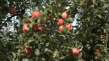 Frio intenso é comemorado por alguns produtores de frutas - Produção de uva deve ser impulsionada pelo inverno deste ano.