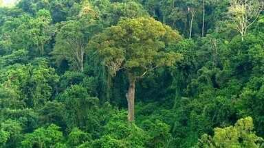 Parque Vassununga preserva os gigantescos jequitibás (Bloco 1) - Em Santa Rita do Passa Quatro, o Parque Estadual Vassununga guarda os jequitibás-rosas.