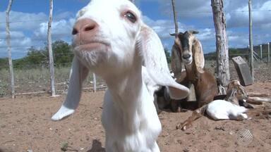 Cabra dá à luz seis filhotes na zona rural de Curaçá, no norte do estado - O fenômeno é considerado raro; confira.