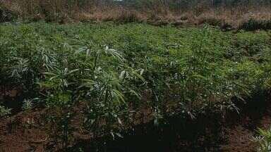 Plantação com 25 mil pés de maconha é destruída em Franca, SP - Homem que fazia a vigilância do local foi preso e outro suspeito conseguiu fugir.