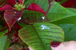 Paisagista dá dicas para cuidado com plantas venenosas - Quem tiver problemas com plantas venenosas deve ligar no sinitox. O atendimento é pelo 0800 722 6001.